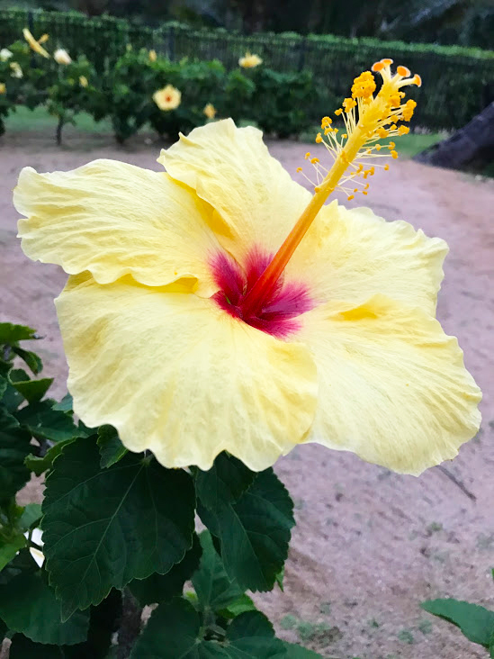 Hibiscus flower on Kauai.